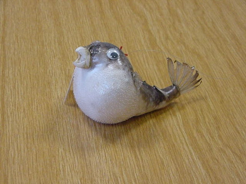 Papageifisch mini